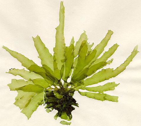 Algas celulitis